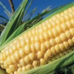 corn_10_13